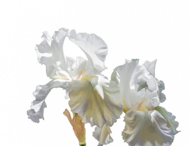 05-09-14 White Irises Simplified