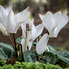 2-25-15 White Cyclamen