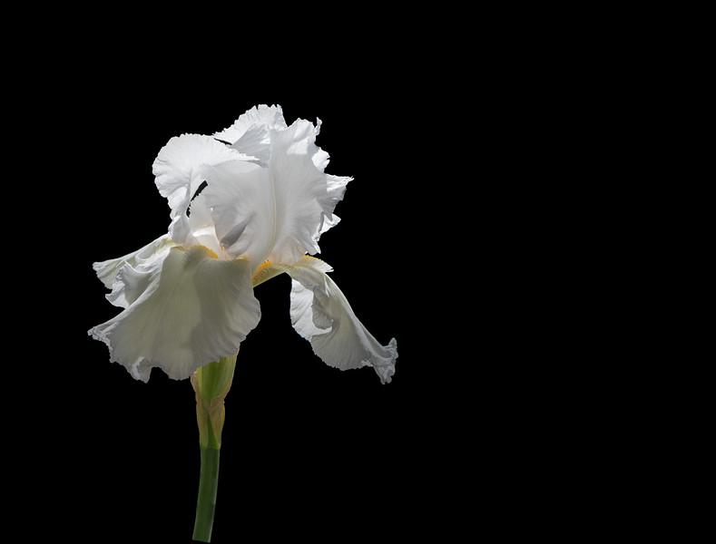 Almost Black & White Iris