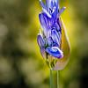 04-17-15 Blue Allium bud