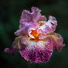 Purple Iris with Water Drops