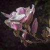 2-25-15 Magnolia in Bloom