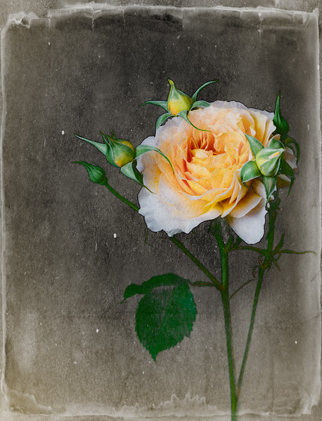 """Yellow Rose """"Old Style"""""""