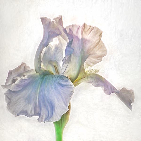 08-15-17 Lavender Iris Closeup