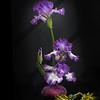 4-6-15 Iris with flash