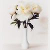 White peonies in a while vase with white background