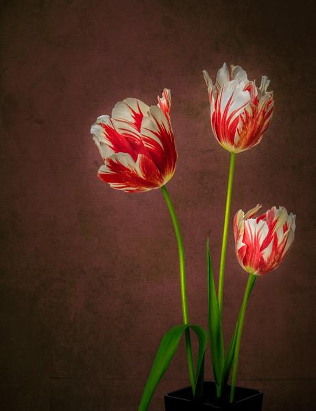 02-11-18 Spring Tulips