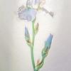 08-15-17 Lavender Iris Portrait