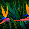 Two Birds of Paradise