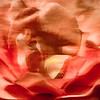 7-18-15 Orange Rose