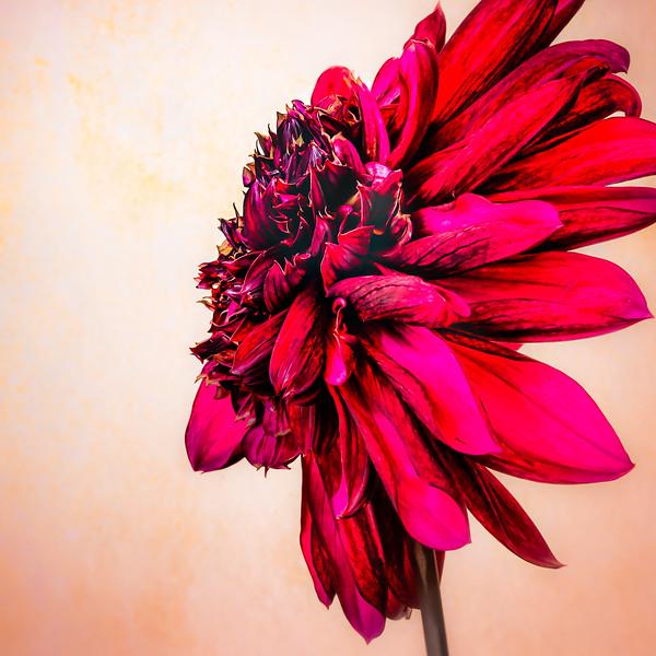 Burgundy Dahlia - closeup