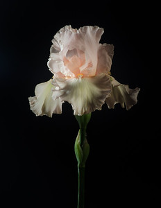 5-07-13 Studio Pink Iris-14