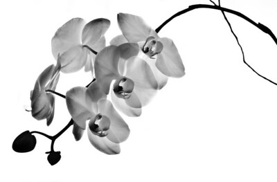 4-17-11 Orchid B&W