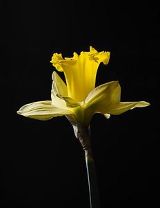 Daffodil Backlit