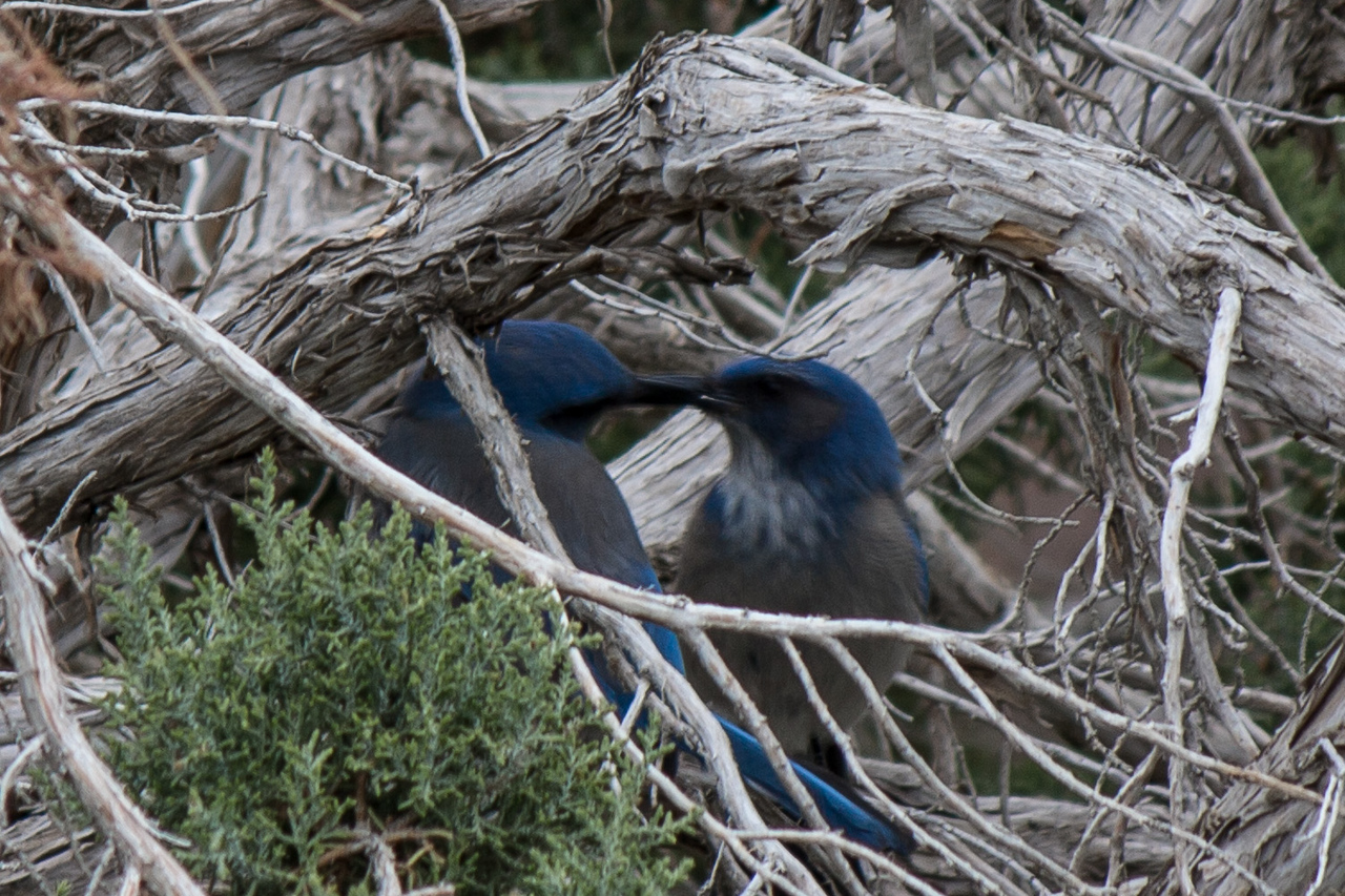 A couple of Blue Jays in a tree