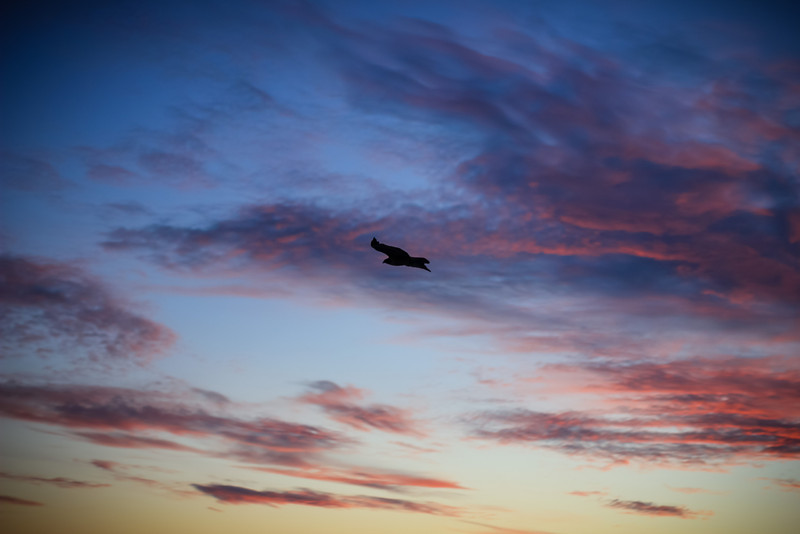 Falcon flying through sunset.