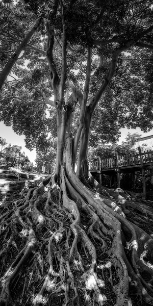 Tree in San Diego BW