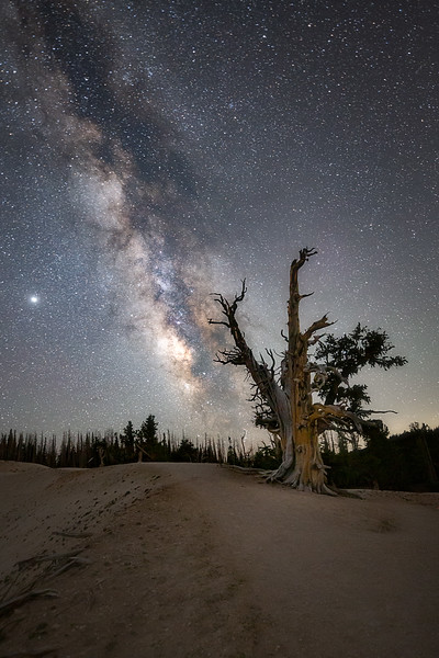 Old Tree at Cedar Breaks