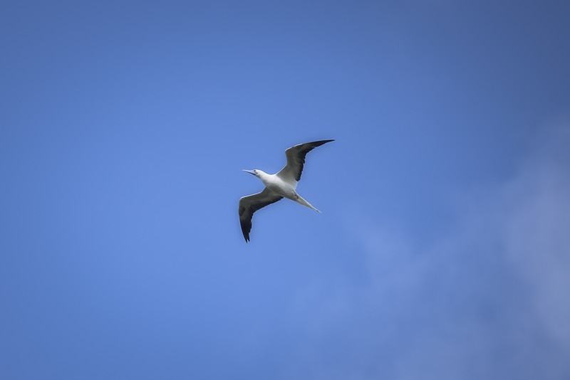 Red Footed Booby In Flight