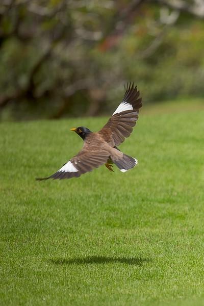 Myna Bird in Flight