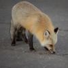 Fox Licking Pavement