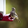 Cassins Finch at Feeder
