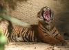 Tiger cub Yawning