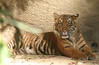 Tiger cub; seven months
