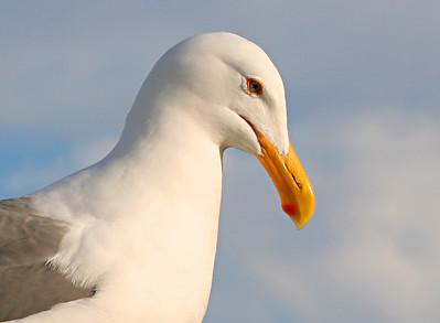 3878 Gull crop