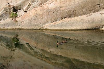 3642 Ducks at Swimming Hole