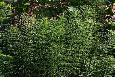 3714 Horsetail Ferns