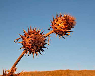 Thistles on Mare Island at sunset. These are orange because of the late afternoon sun.