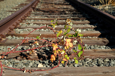 Blackberry vine on old railroad tracks