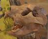 Thylacoleo Carnifex skull