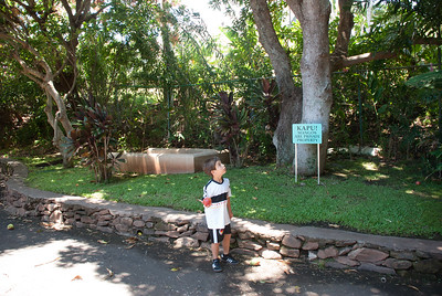 A massive fig tree