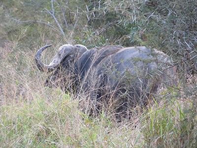 Wild Cape Buffalo