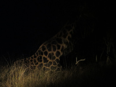 Found a giraffe sleeping… Shhh!