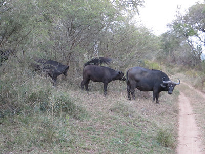 More wild Cape Buffalo. The one looking at us was cranky.