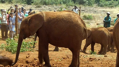 The Elephant Orphanage in Nairobi, Kenya cares for elephants aged 2 months to 5 years that are found abandoned in the wild. In many cases, the elephant's parents have been killed by poachers, but some are found with no clues as to why they are alone.