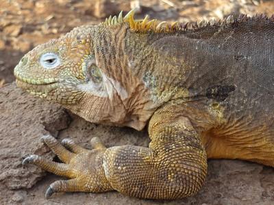 A Galapagos iguana.
