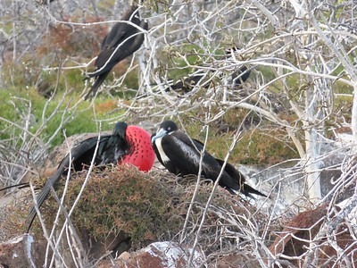 The male frigatebirds expand their red throat pouch to attract females.