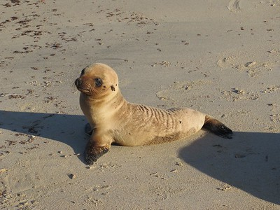 Baby sea lion making its way up the beach.
