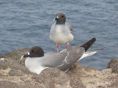 The swallow-tailed gull has a distinctive red band around their eyes.