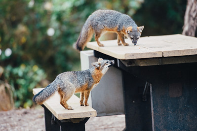 Channel Island Foxes Foraging