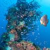 Circular Spadefish