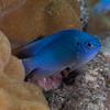 Blue Devil Damselfish