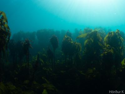 Icelandic kelp forest