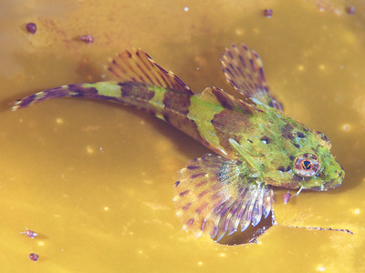 A small shorthorn sculpin
