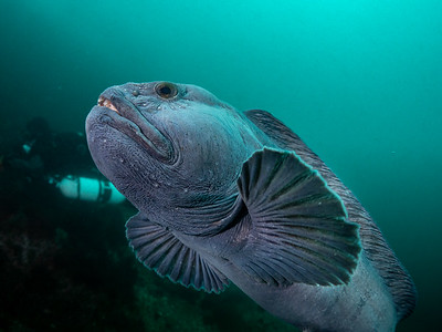 Swimming with an Atlantic Wolffish