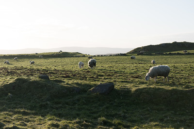 Sheep Grazing in Irish Countryside